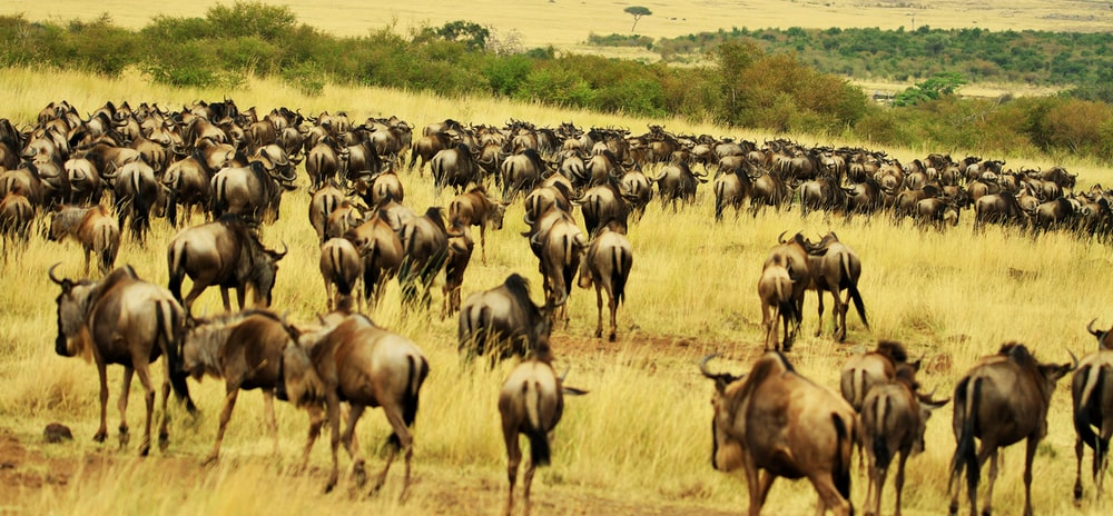 herd of brown water buffalo