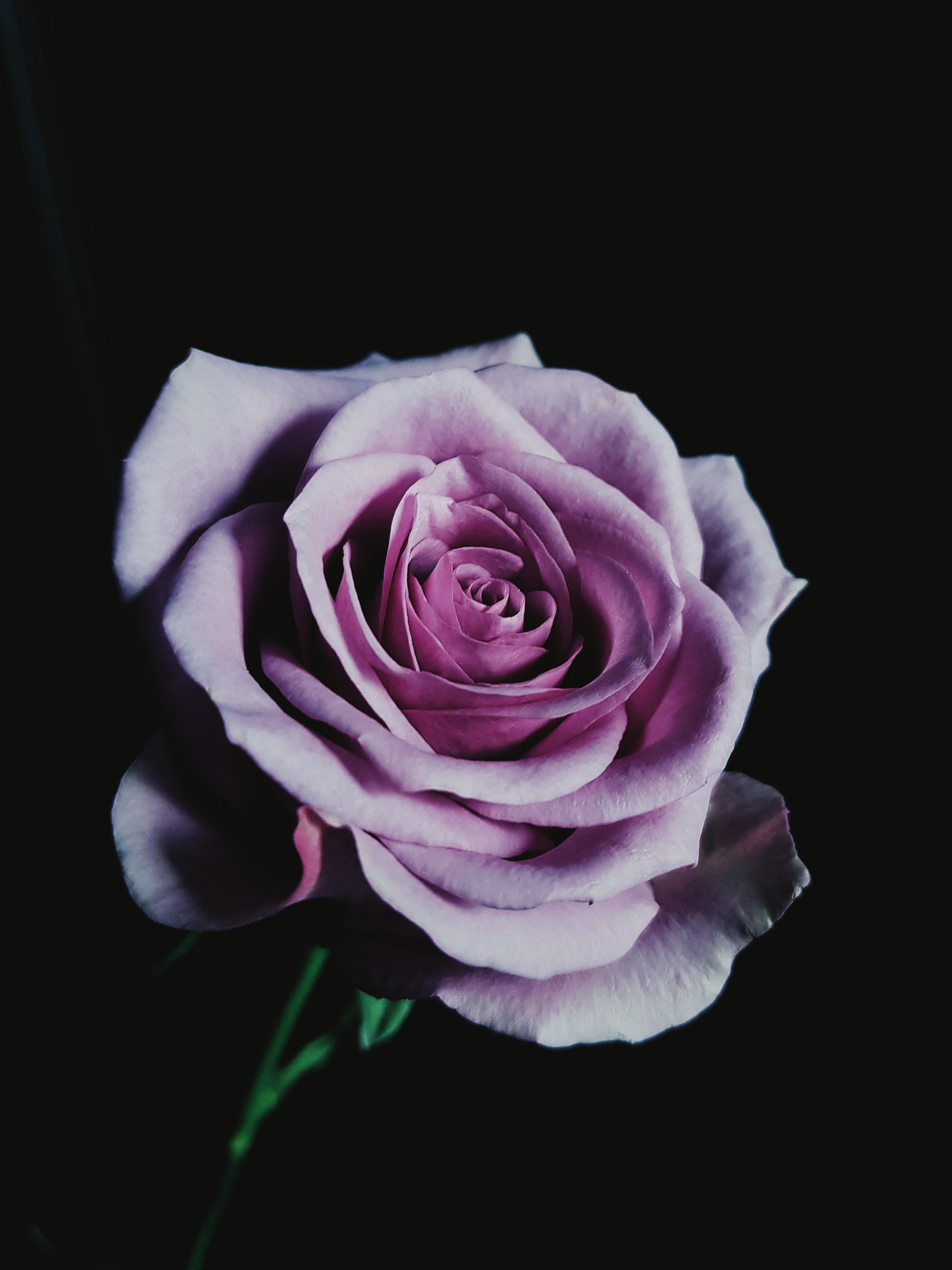 purple petaled rose with dim background