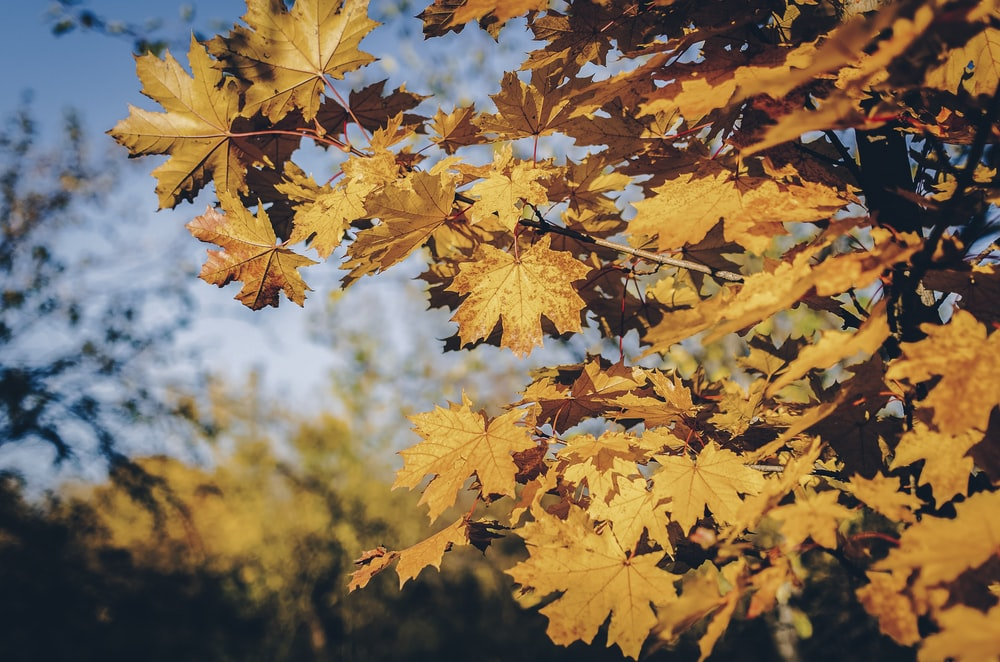 brown maple leaves close-up photography