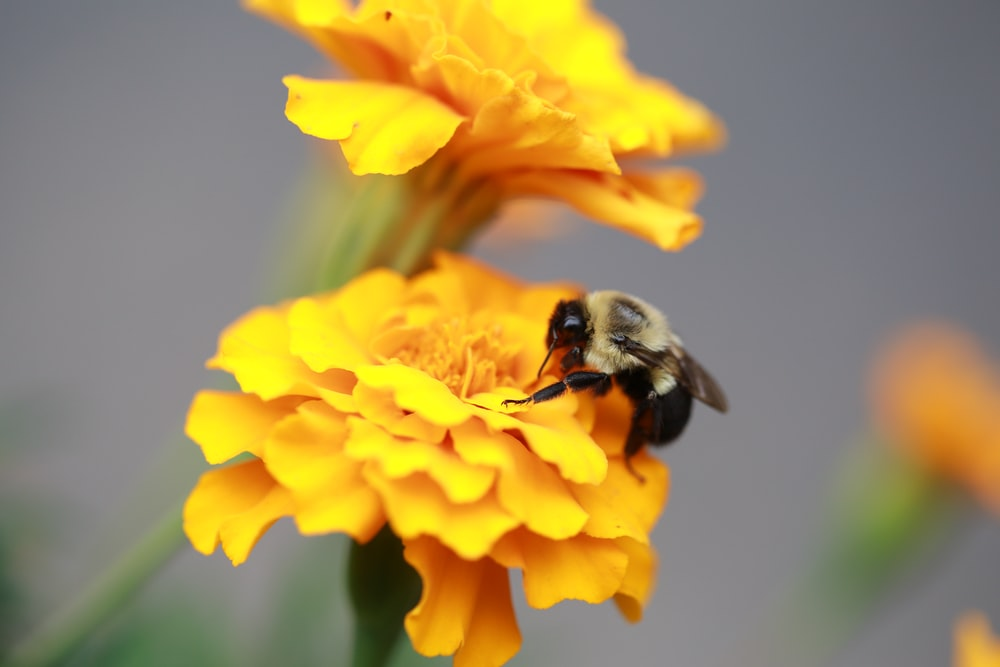 macro shot of black bee on yellow flower