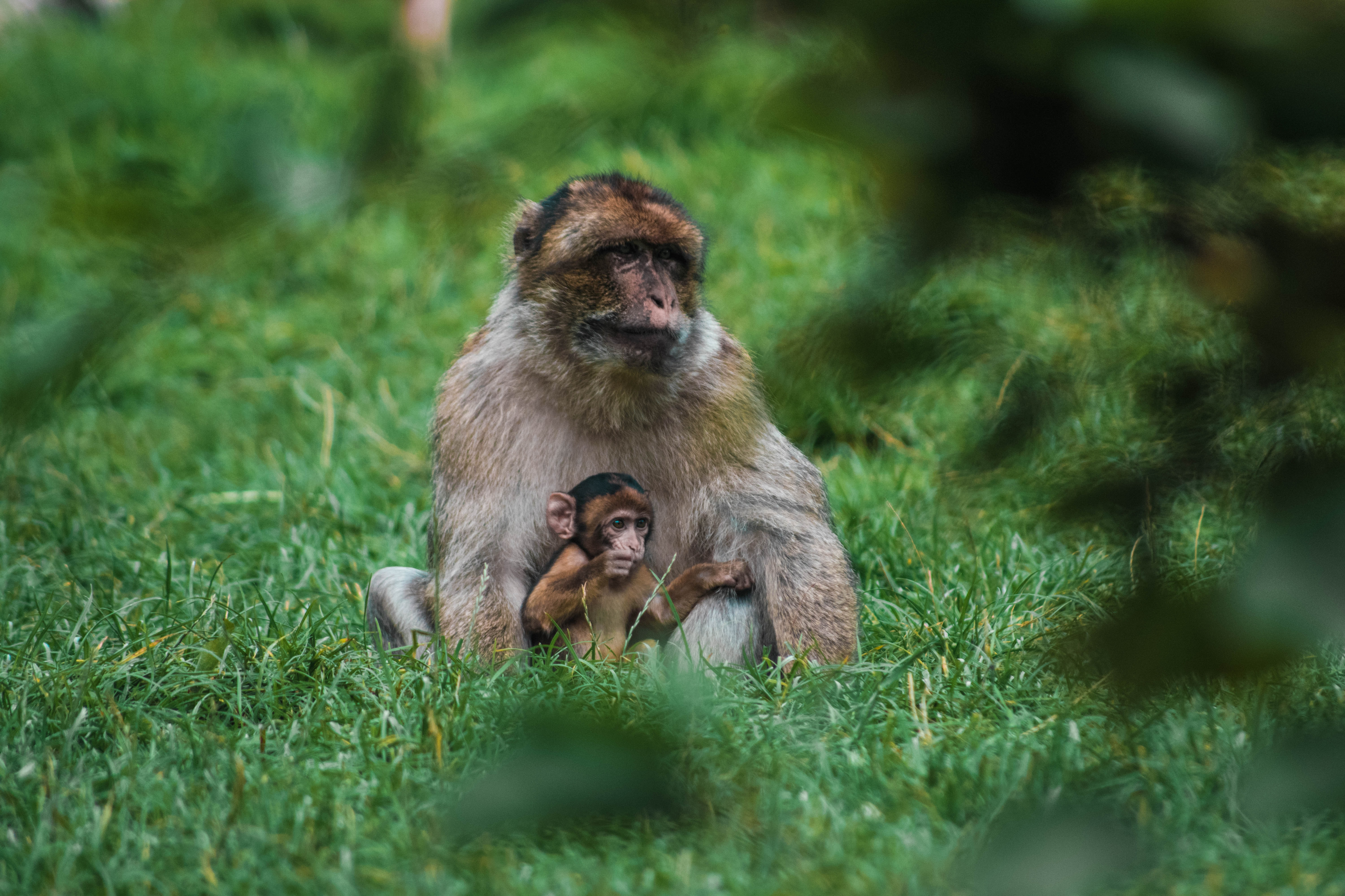 brown monkey with baby sitting on green grass at daytime