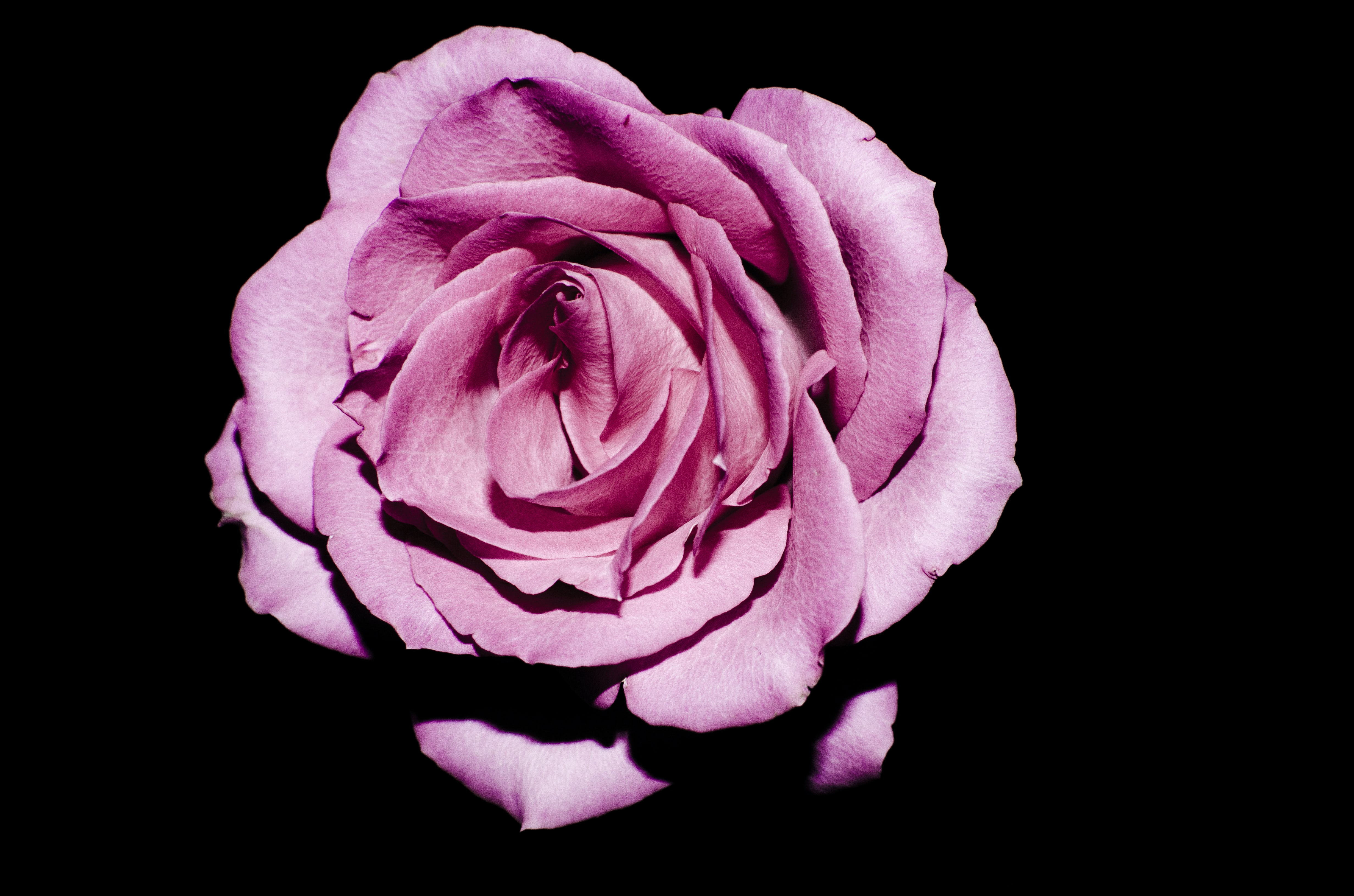 focus photography of pink rose