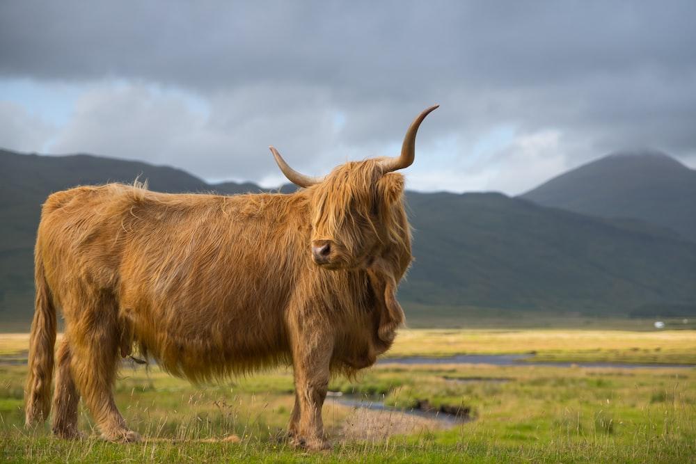 photo of brown yak on green grass field