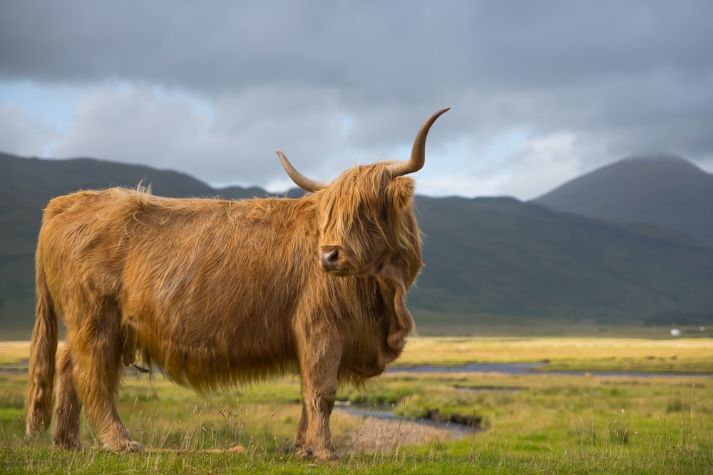 photo of brown yak on green grass field