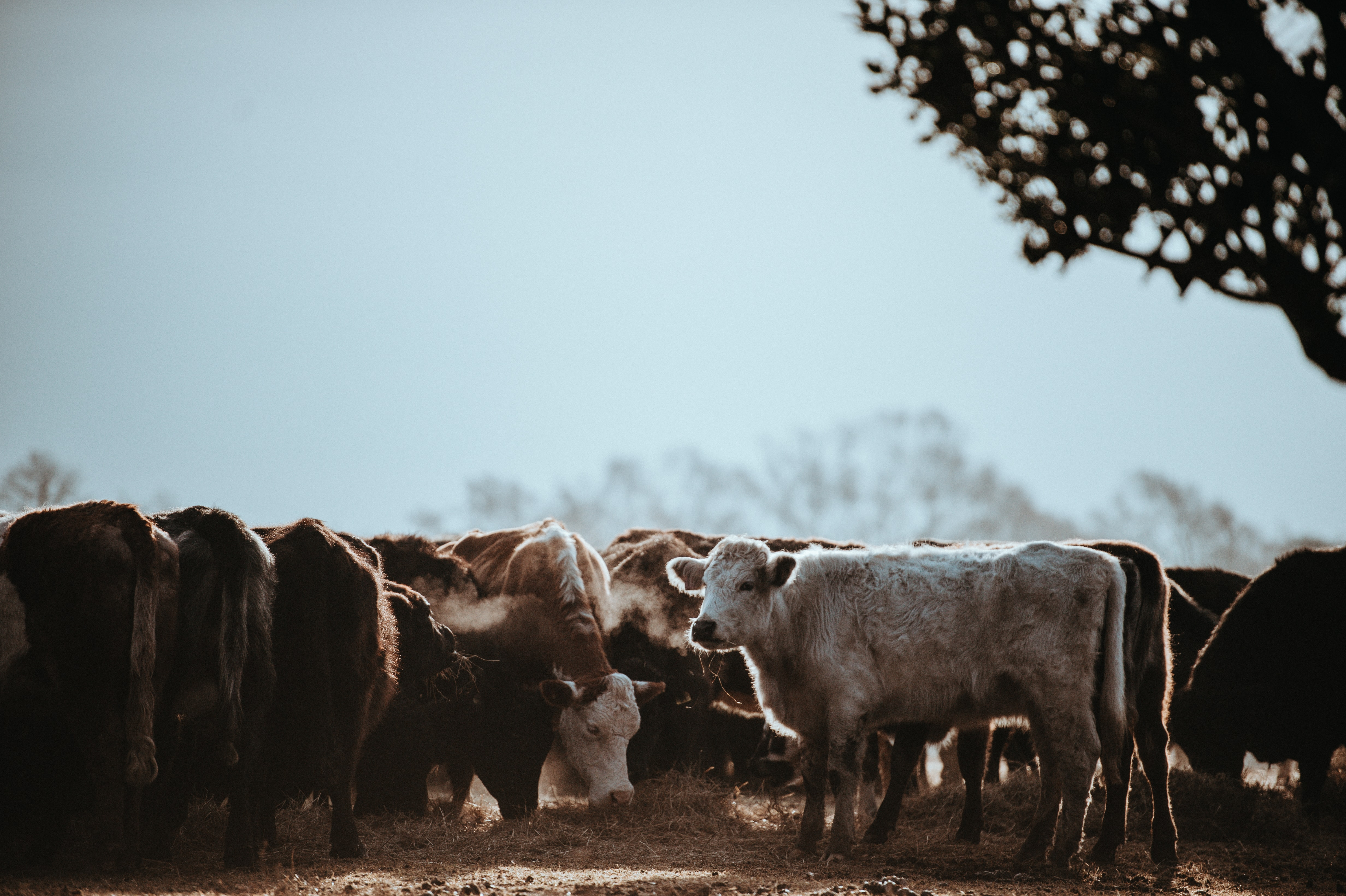 selective color photo of herd of cattles