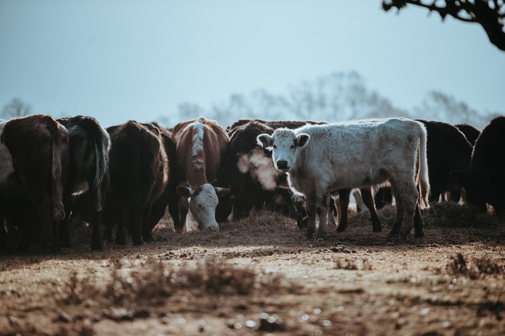 herd of brown and white cattles at daytime