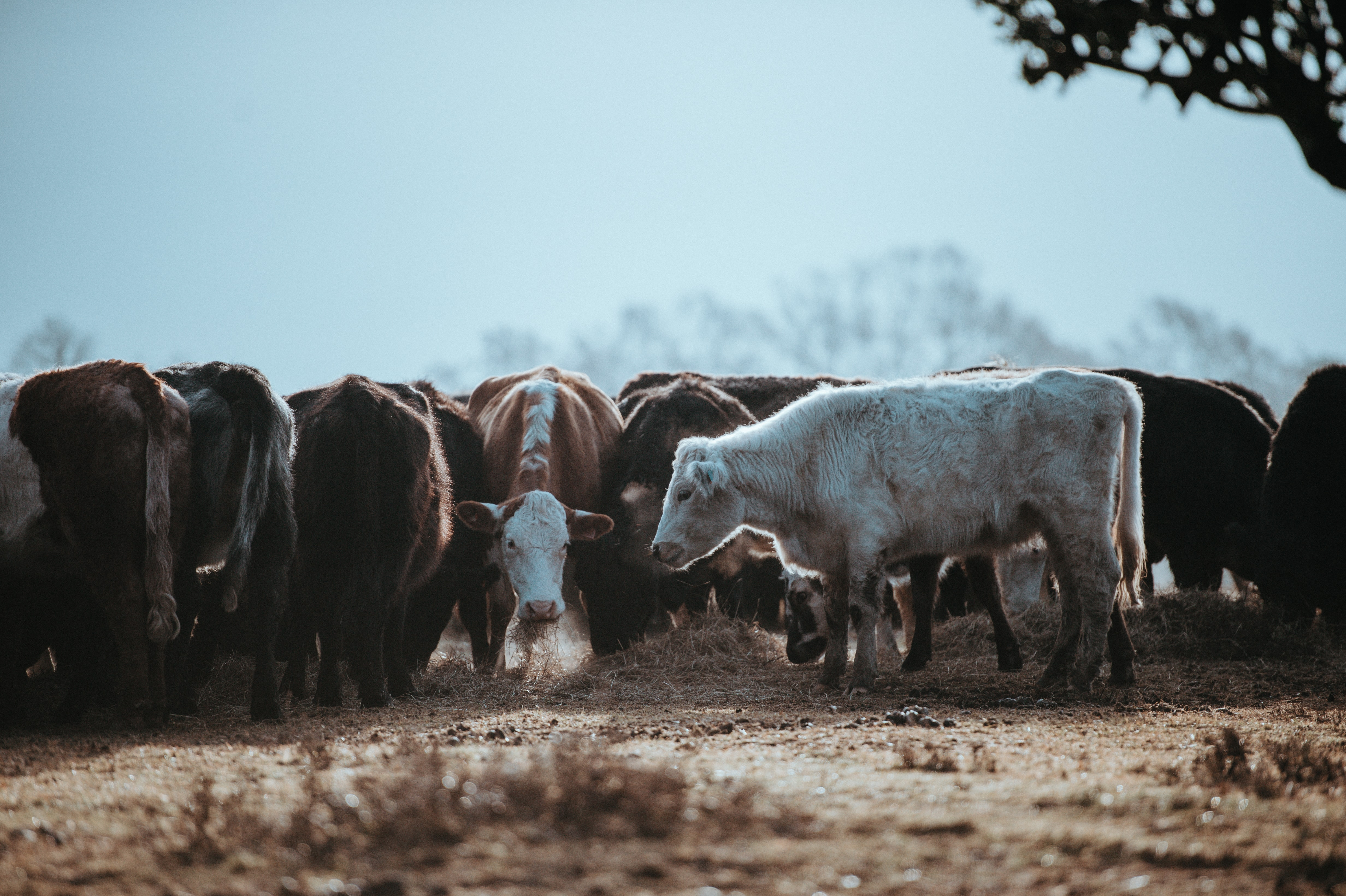 herd of white and black cows