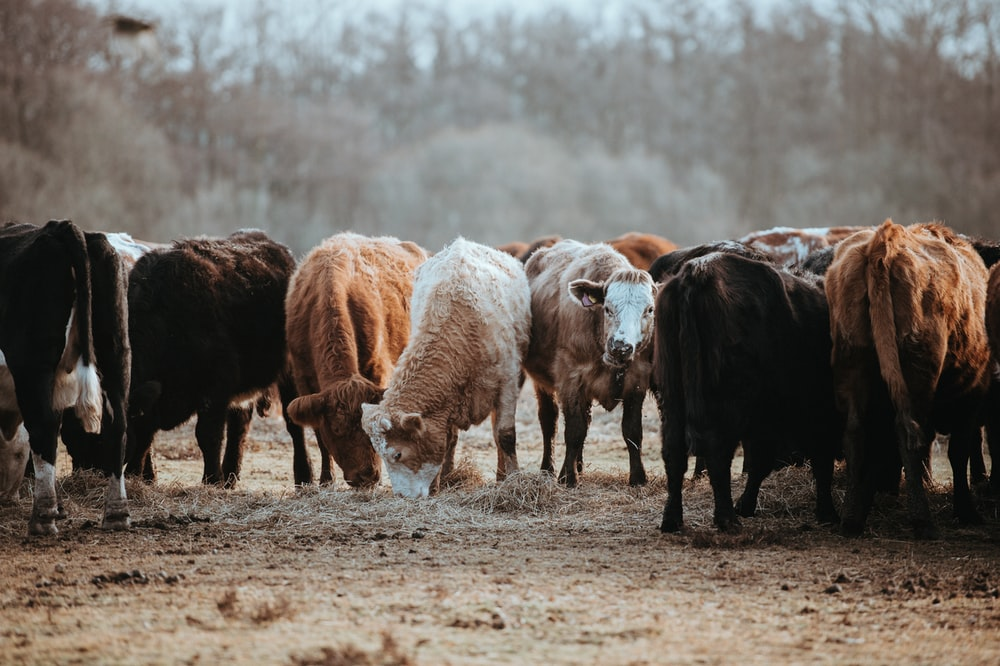 herd of brown and white cattles