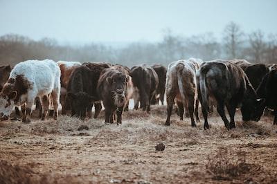 herd of buffalo ranch zoom background
