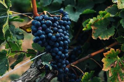 4677. Bor,szőlő, borászatok