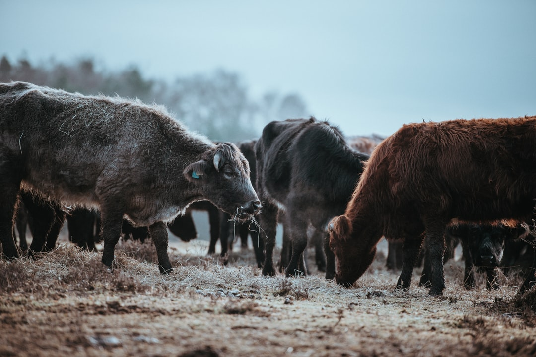 Cows grazing on a winters morning