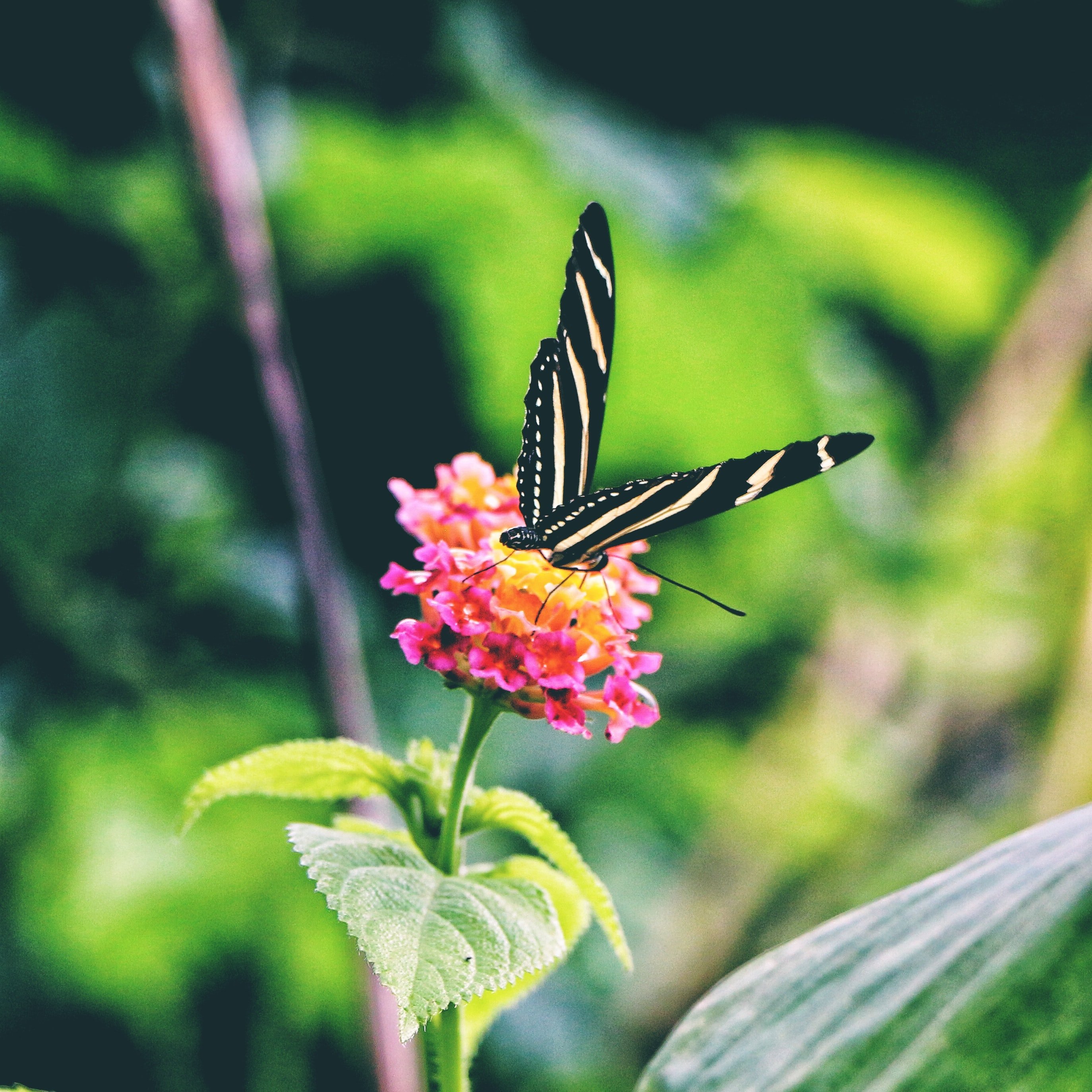 selective focus photography of white and black butterfly on pink flower