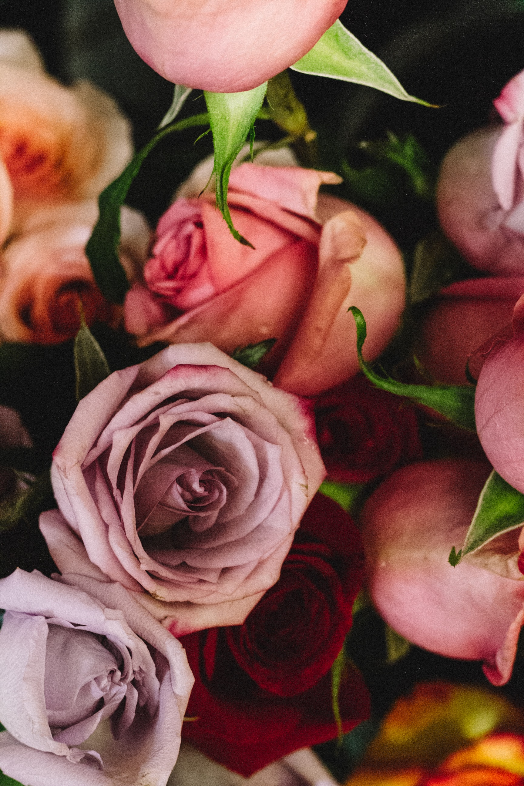 closeup photography of red and pink rose flowers