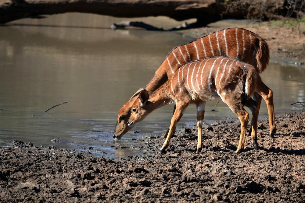 two brown animal drinking water during daytime