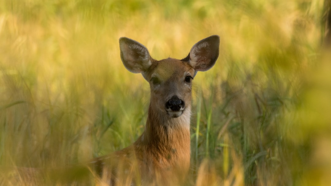 Obstructed portrait of a White-tailed Deer stood in long grass.