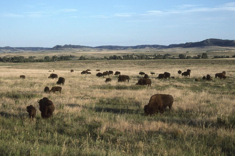 tilt shift photography of water buffalo on green grass