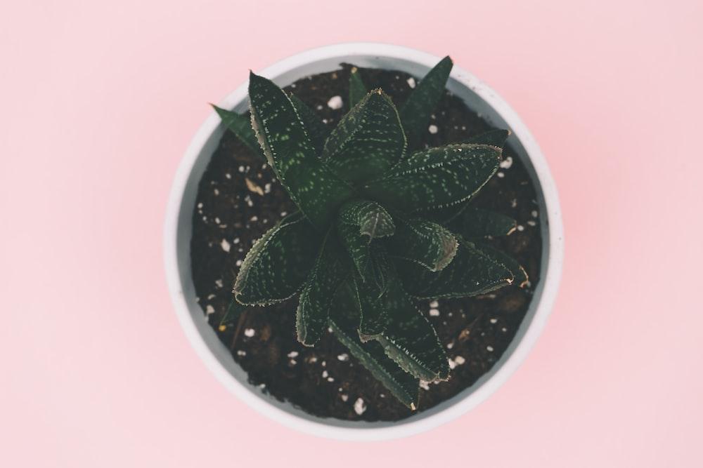green succulent plant on white pot