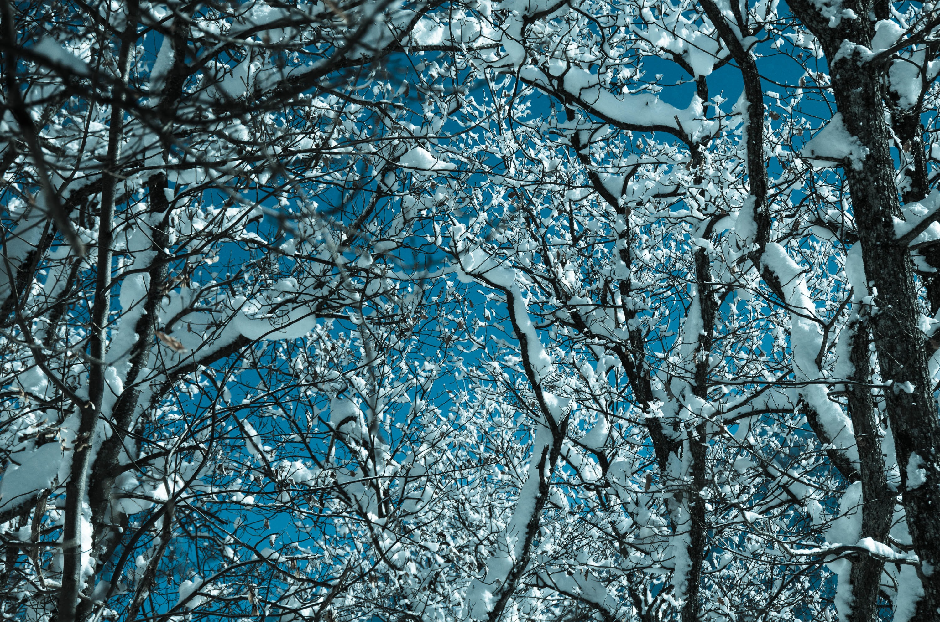 bare trees covered with snows