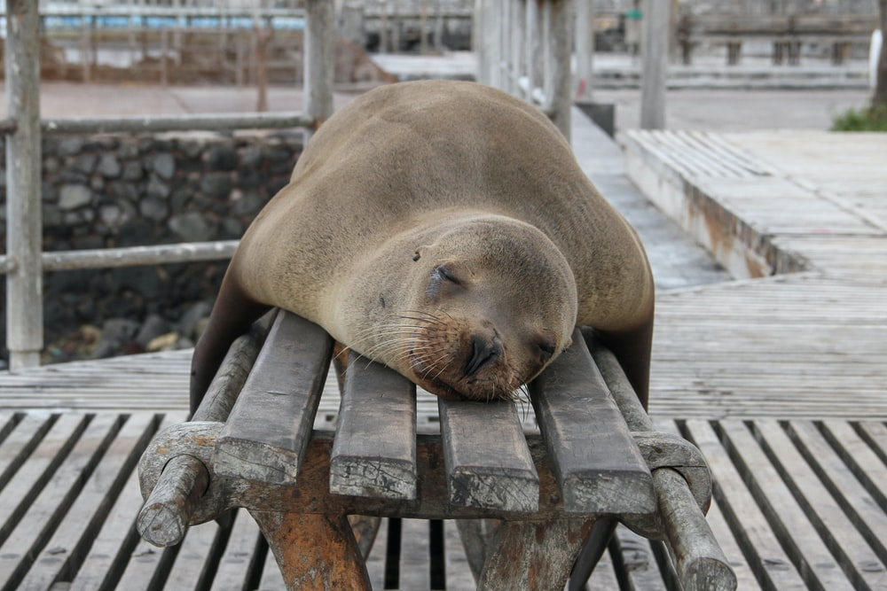 seal laying on bench