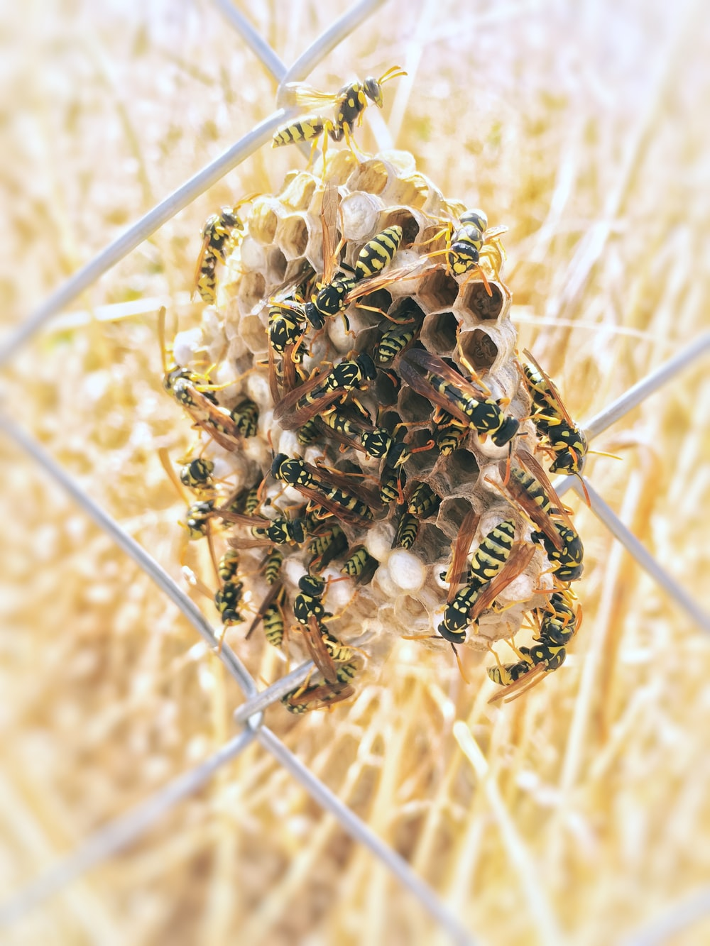 swarm of yellowjacket wasp on hive