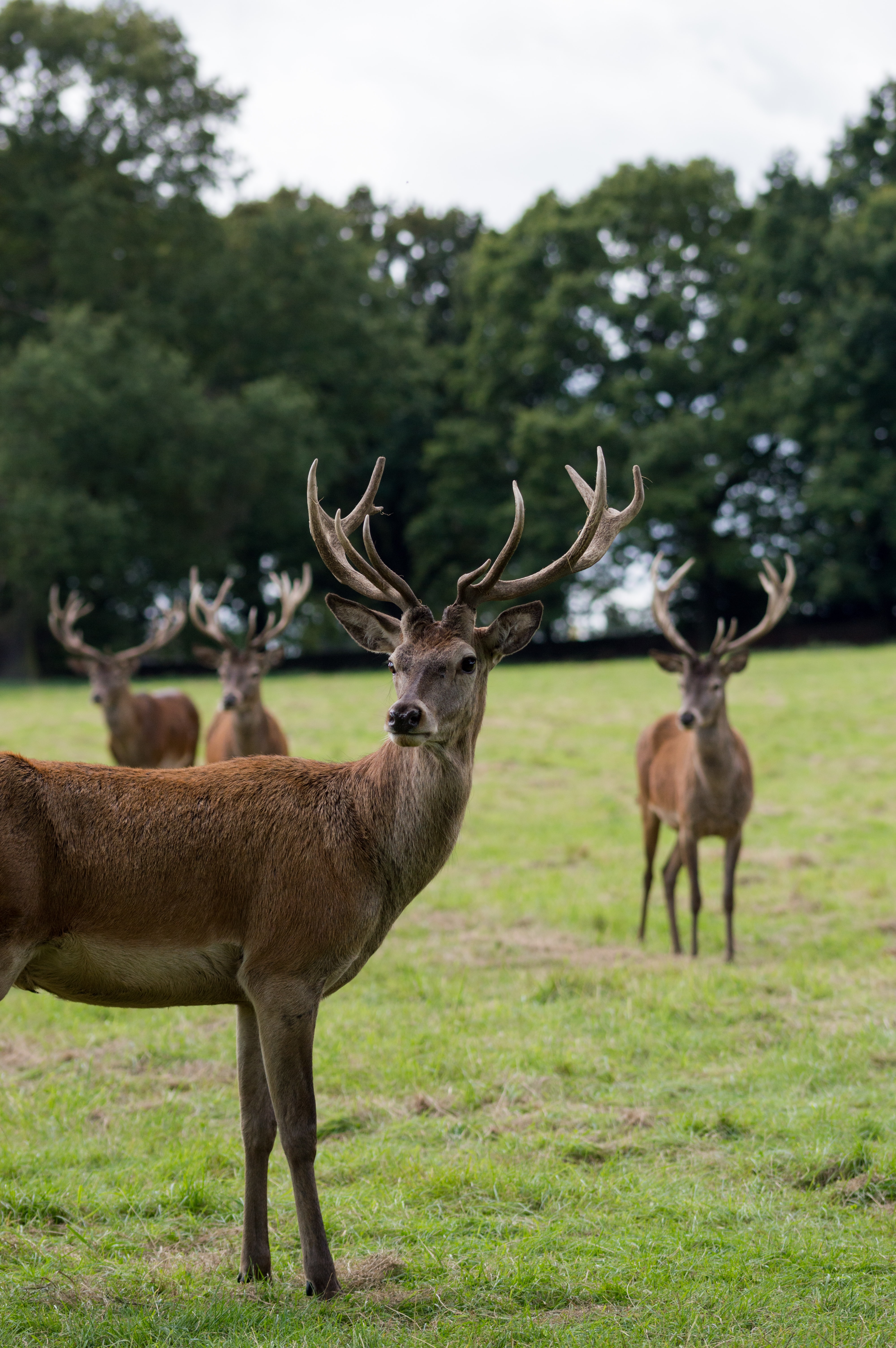 four brown deers standing on grass near trees