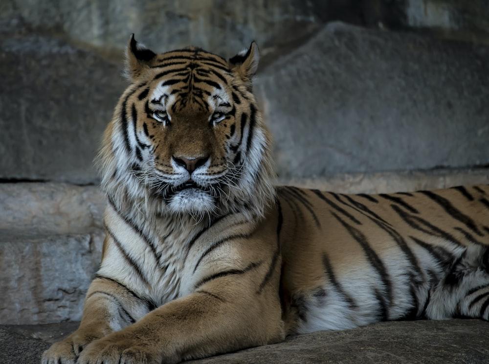 Bengal tiger on brown soil