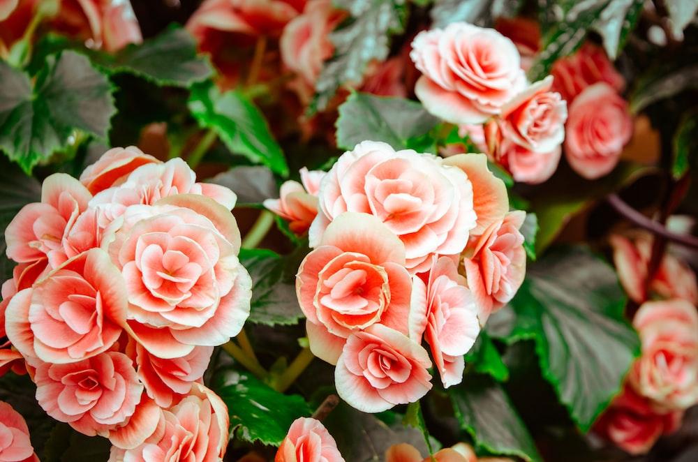 Isaiah 40 8 photo by jonathan meyer jmeyer1220 on unsplash pink flowers with green leaves mightylinksfo