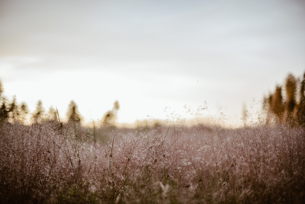 shallow focus photography of white flower field during sunset