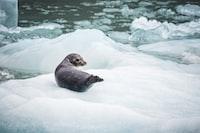 black seal on ice closeup photography
