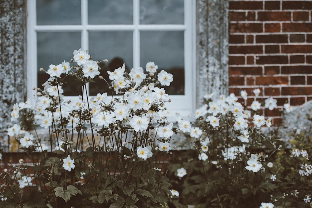 white moth orchid flowers near window
