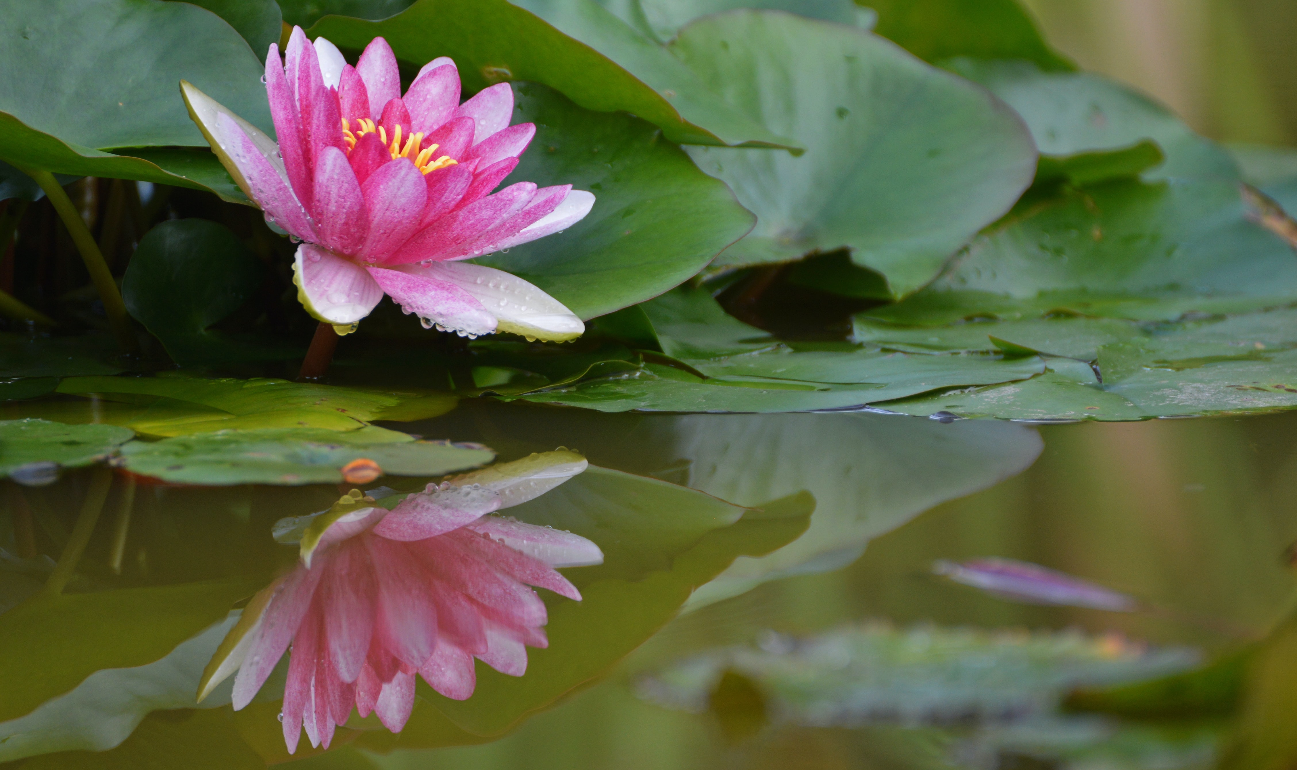 pink lotus flower on river close-up photo