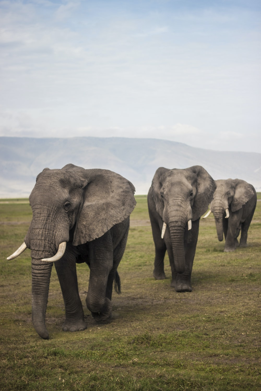 three elephants walking on grass field during day