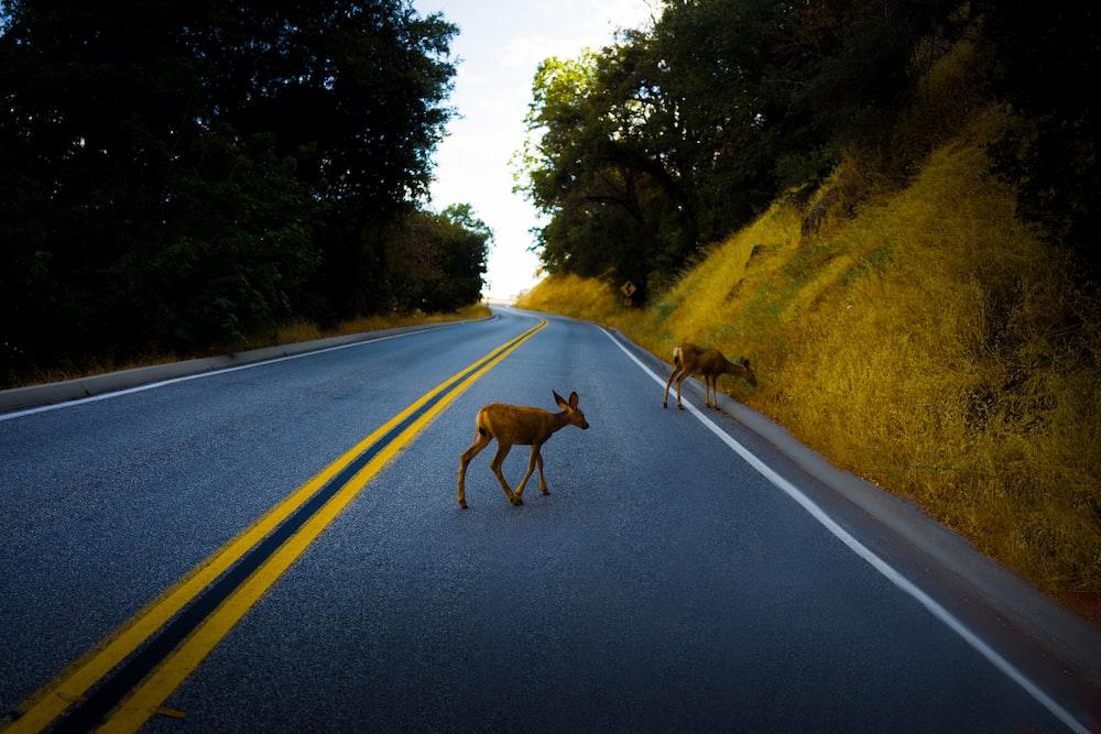 two brown deer on road walking near trees during daytime