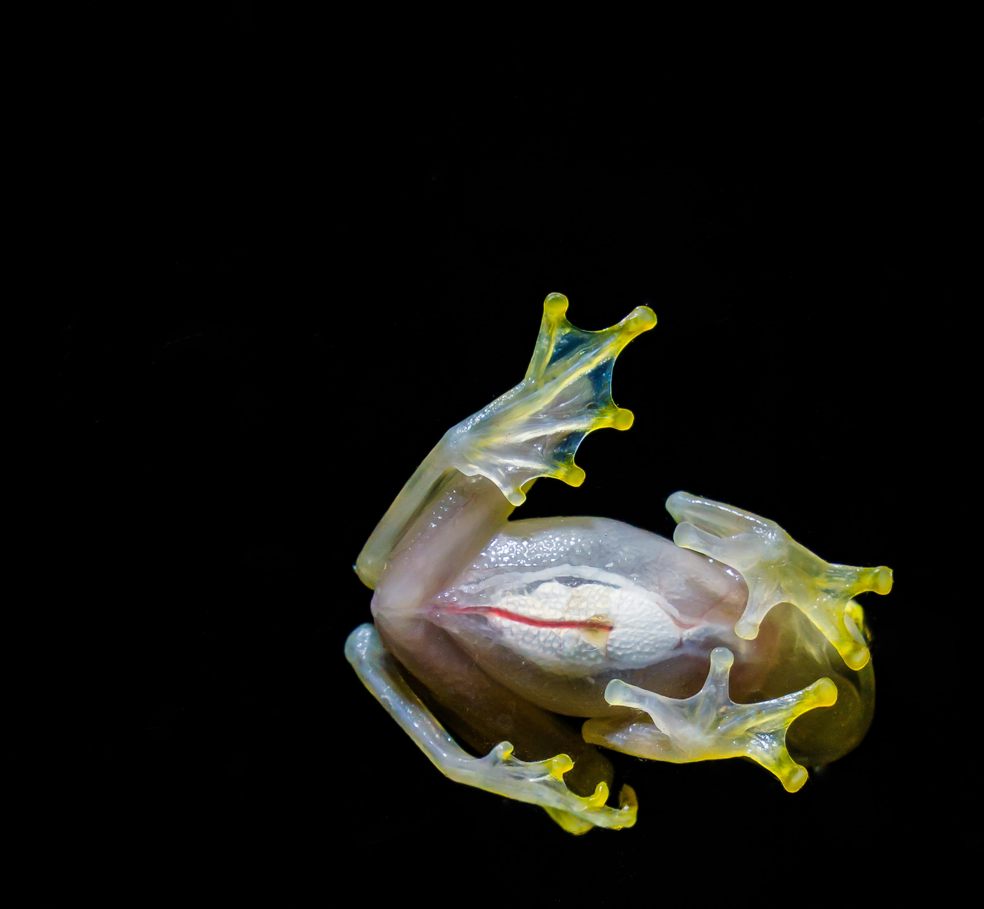 white and yellow frog
