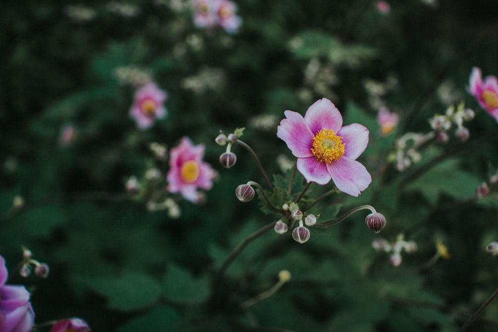 pink and white 5-petaled flower
