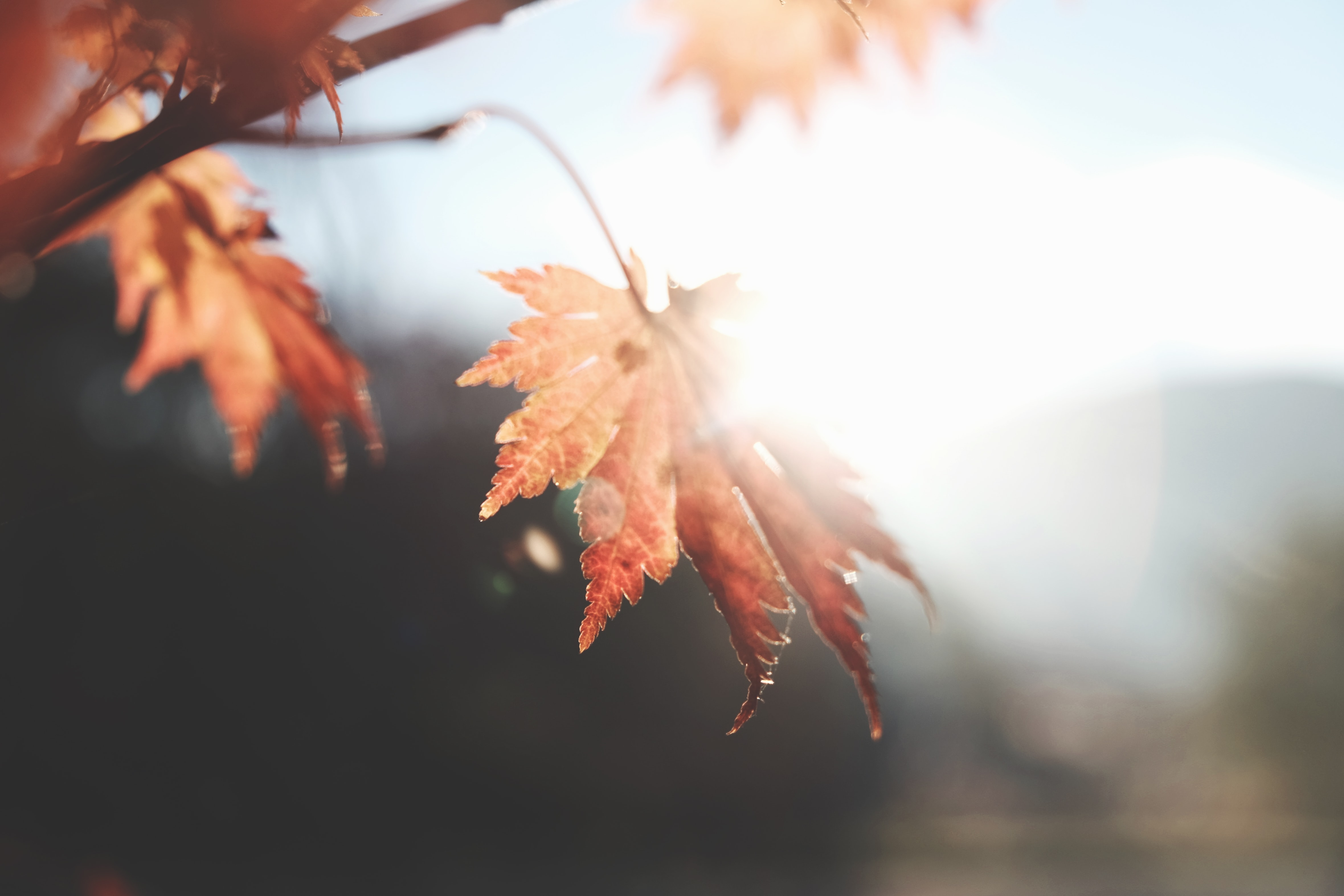 photo of maple leaf