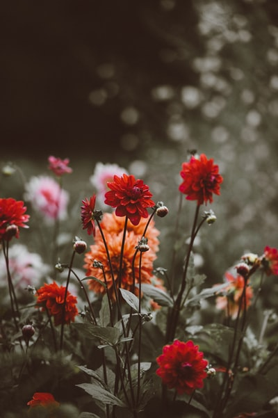 close-up photo of red and orange petaled flowers