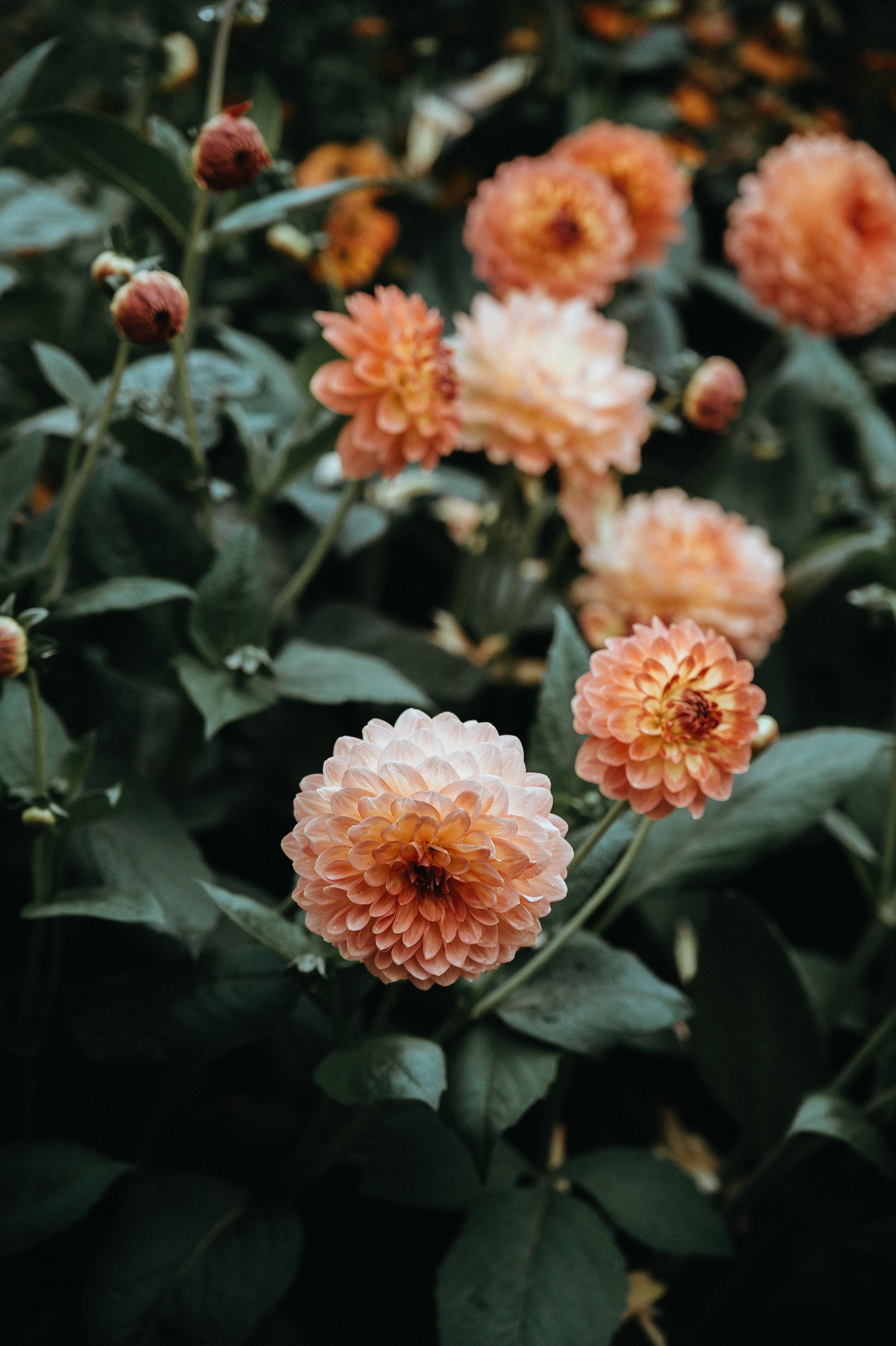 orange petaled flowers photography