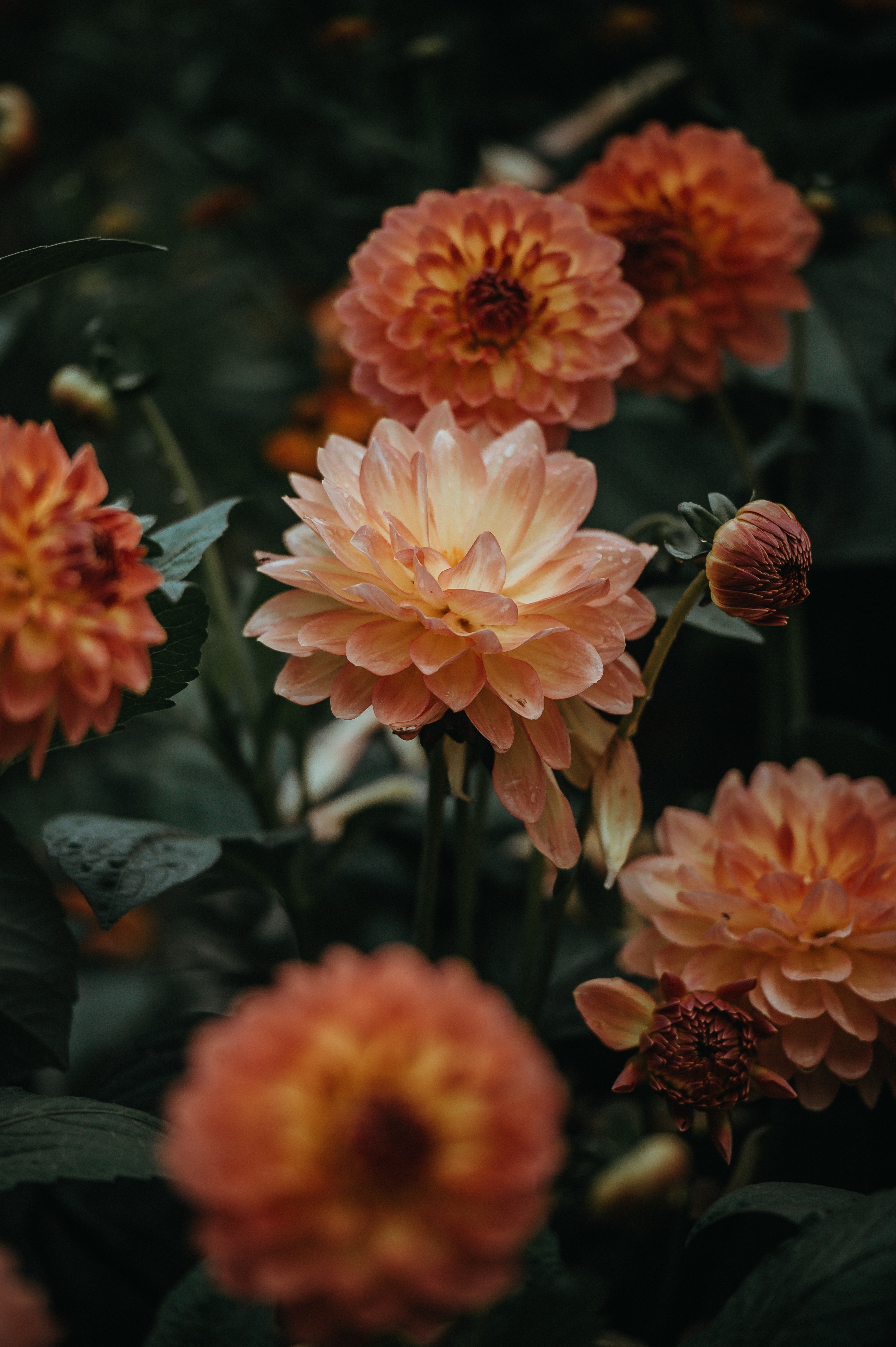 orange dahlia flowers closeup photo