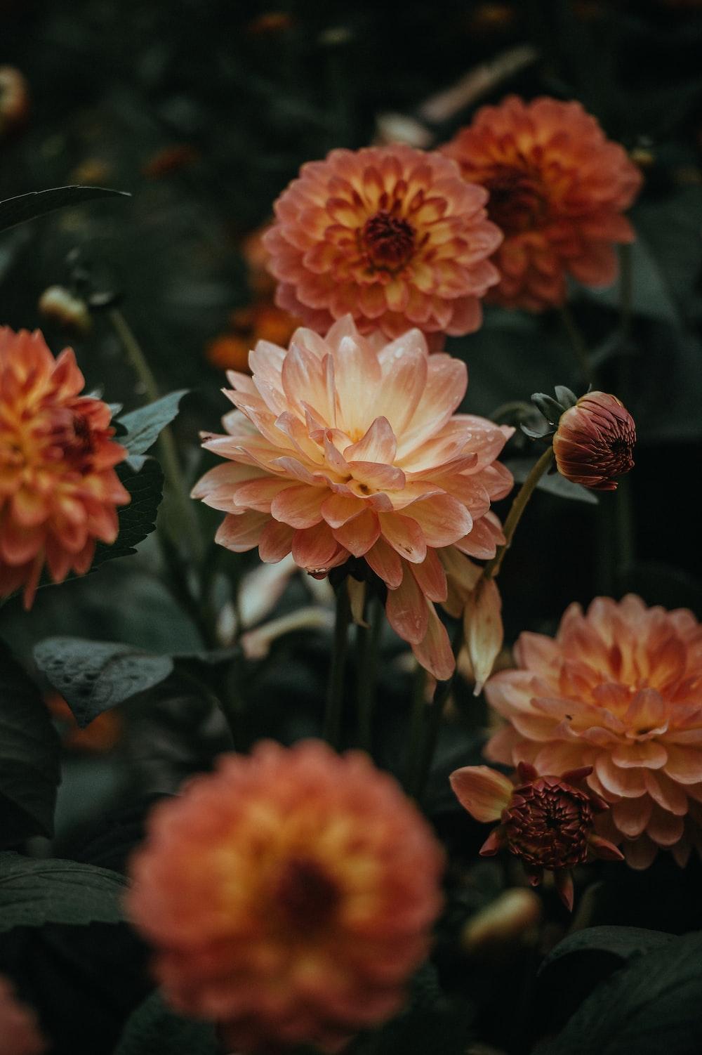 Dahlia photo by annie spratt anniespratt on unsplash orange dahlia flowers closeup photo izmirmasajfo