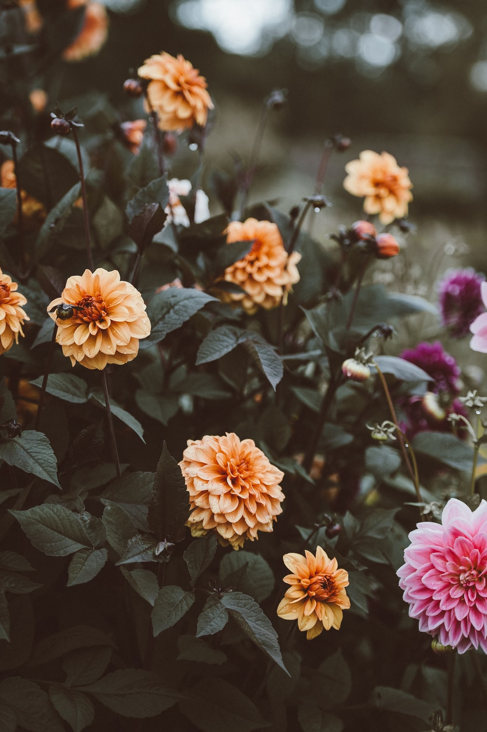 shallow focus of orange and pink flowers