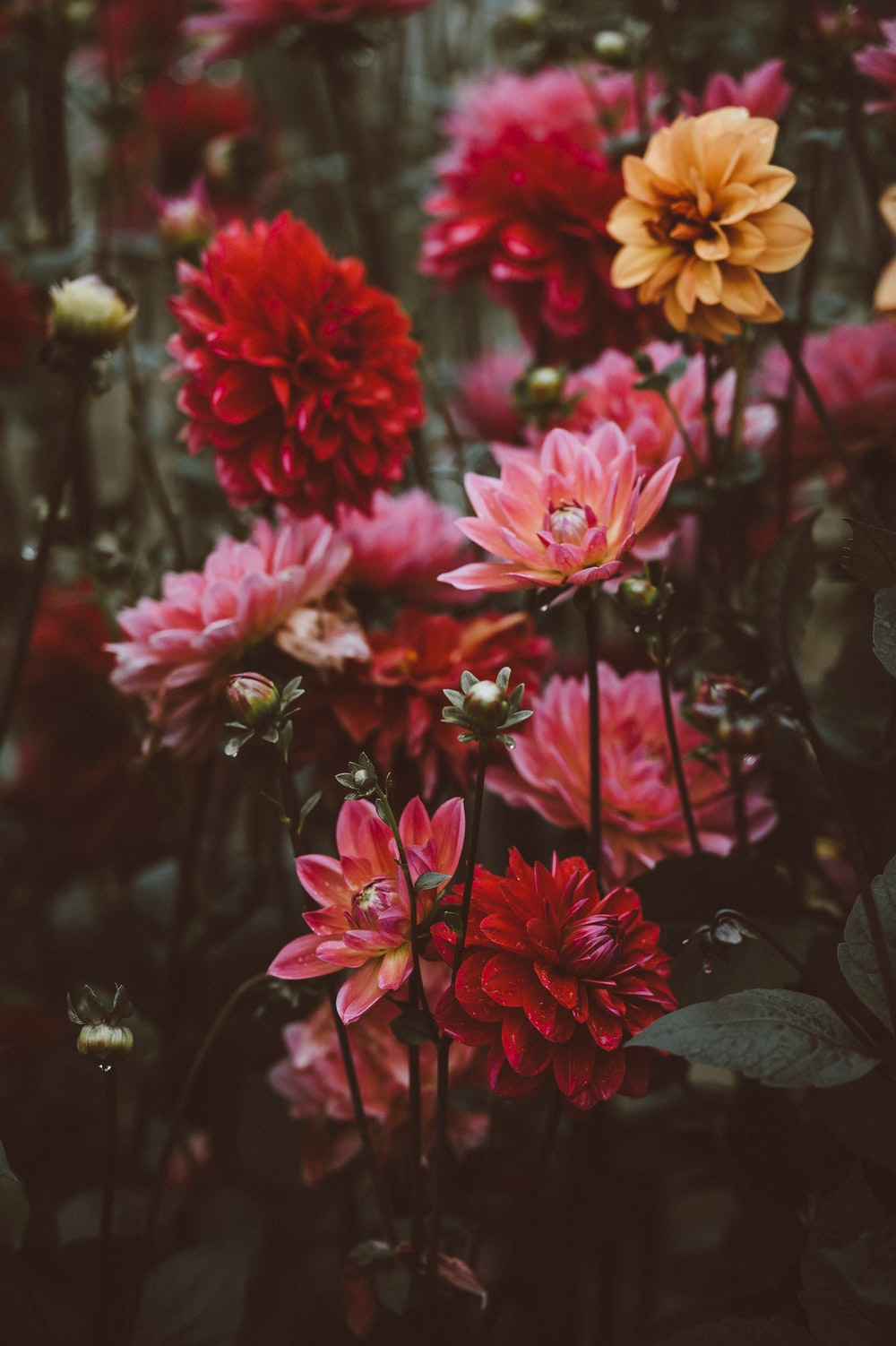 blooming red and yellow petaled flowers
