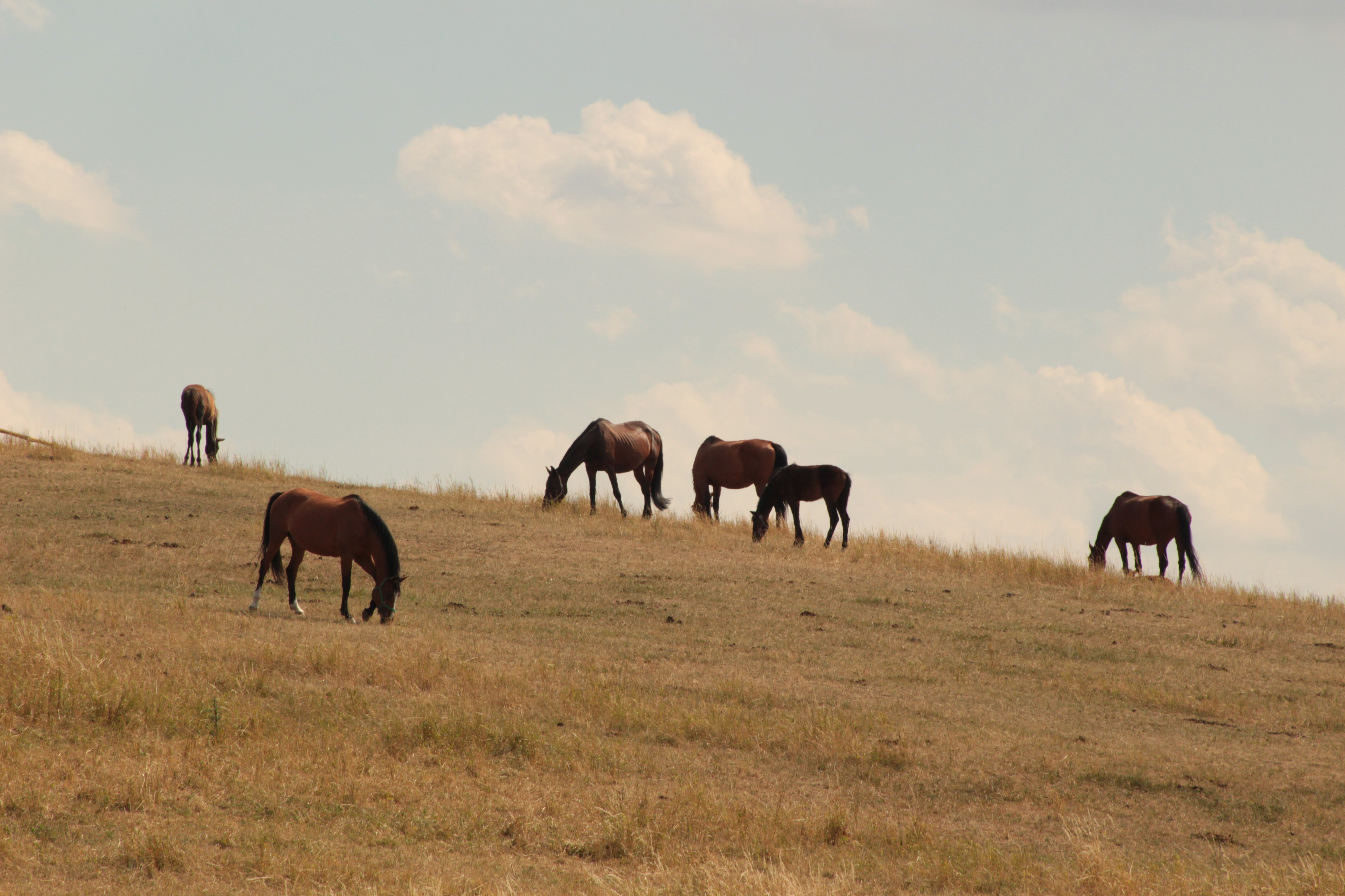 horde of stallions