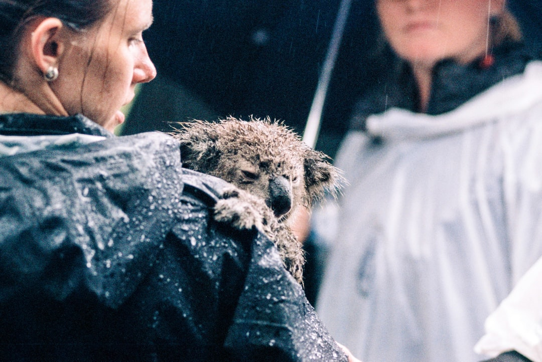 A baby koala at the Australian Reptile Park holds on to the ranger in the rain during show.