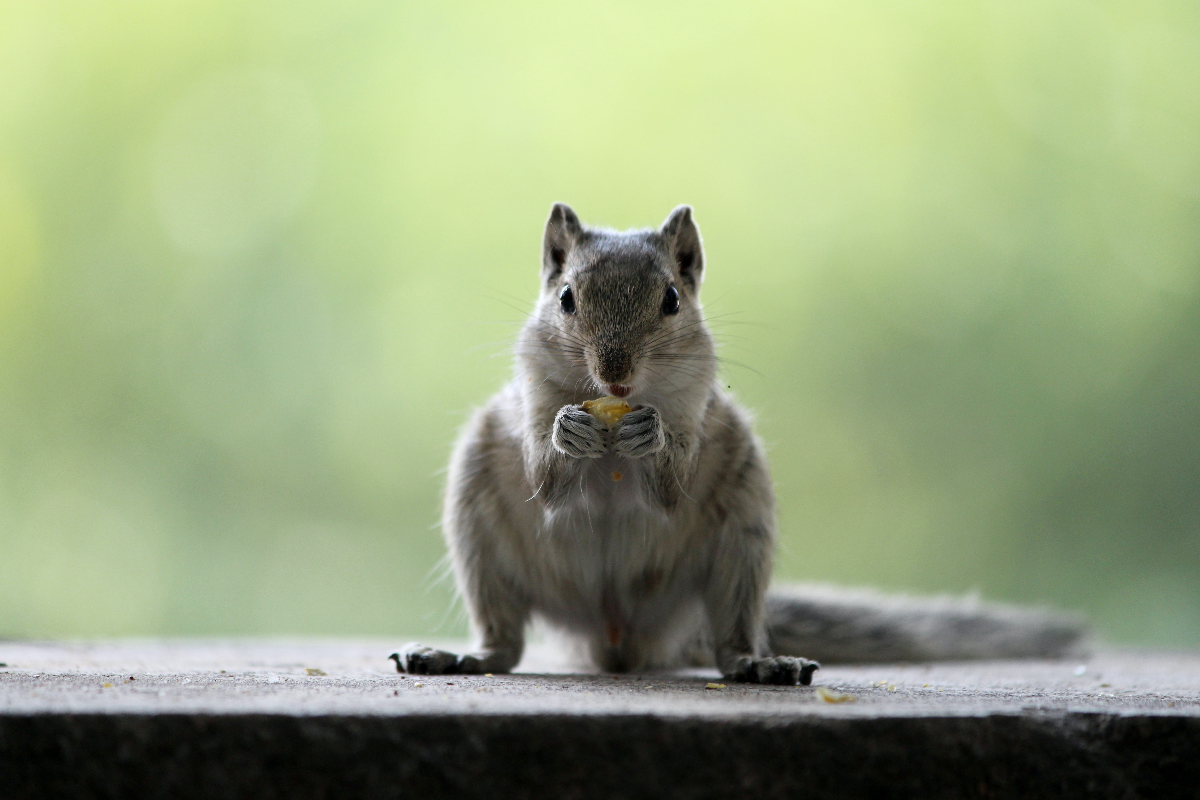 squirrel eating knut