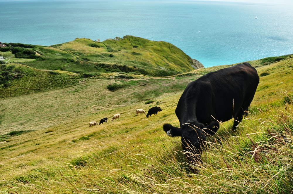 cattle eating grass during daytime
