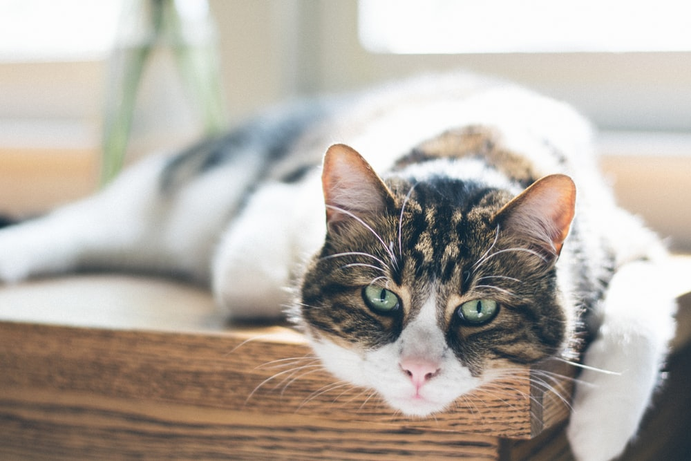 selective focus photography of black, white, and brown cat lying on wooden table
