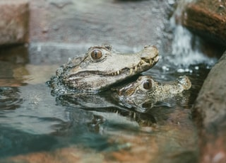 selective focus photo of two gray alligators on body of water