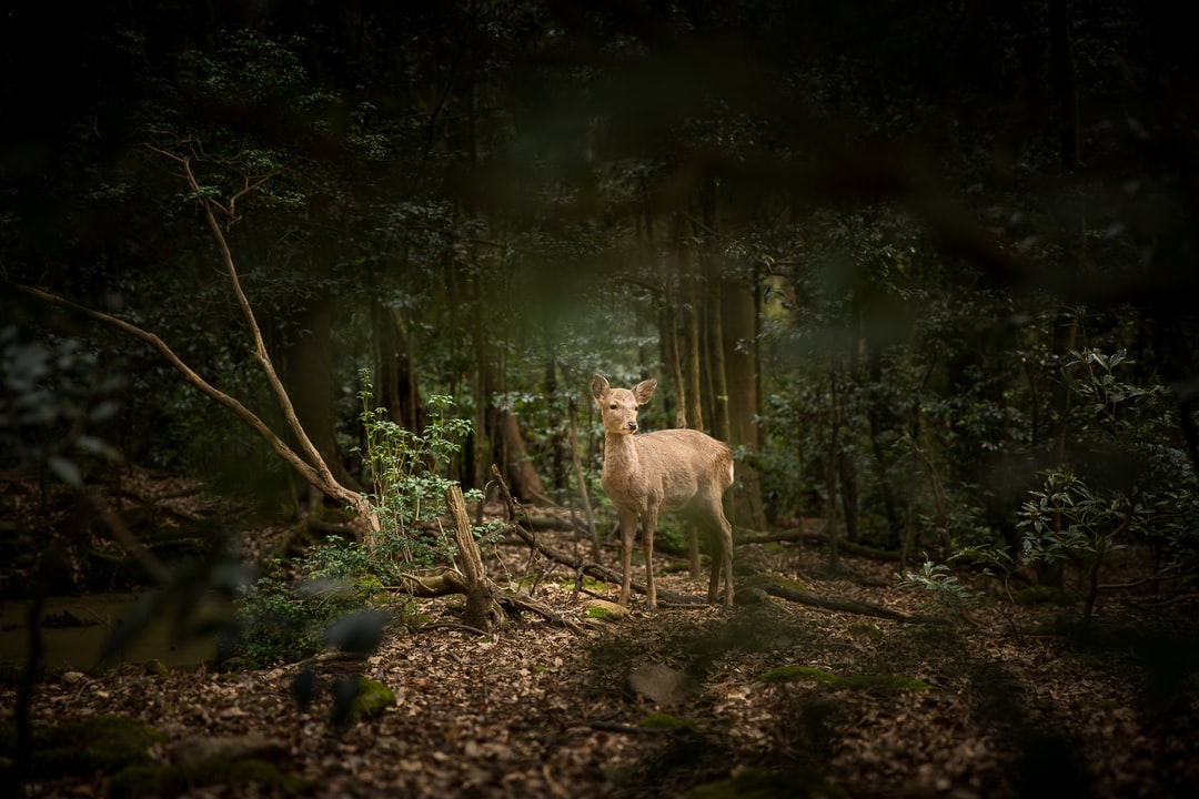 A deer observed in forest surrounding a temple near Kyoto.