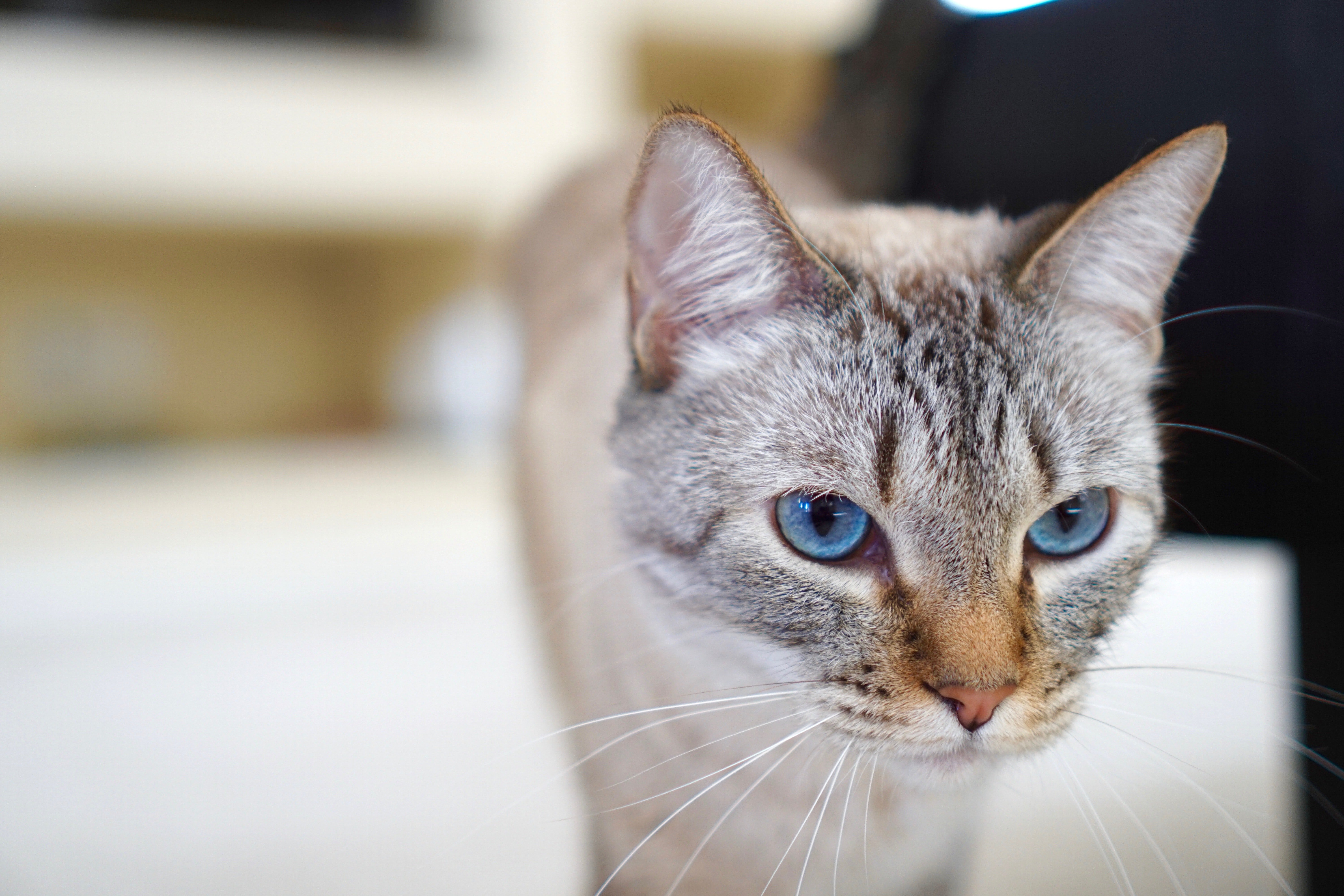 shallow focus photography of silver Tabby cat